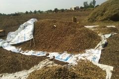 Groundnut Crop harvesting