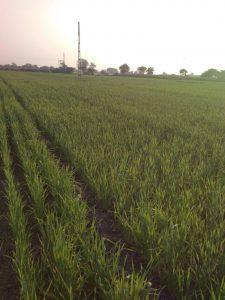 Nitrogen Deficiency in Wheat